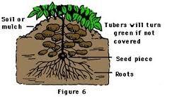 diagram of a radish plant diagram of a potato plant